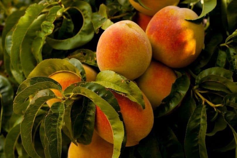 potential-garden-hazards-for-dogs-2-fruit