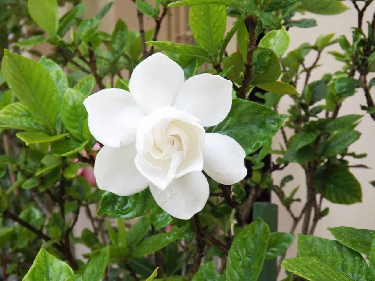 scented-houseplants-air-freshener-3-gardenia