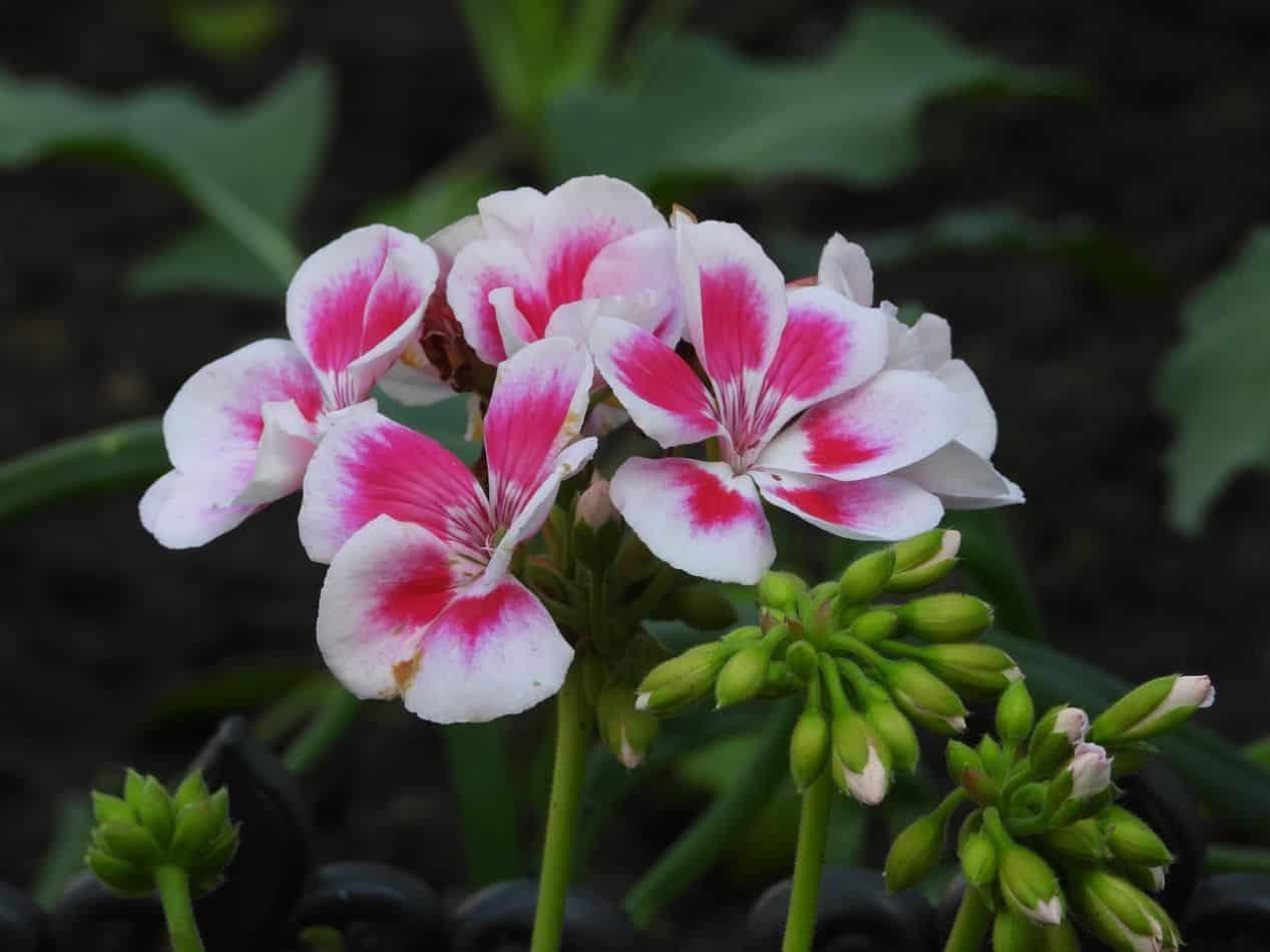 scented-houseplants-air-freshener-4-scented-geranium