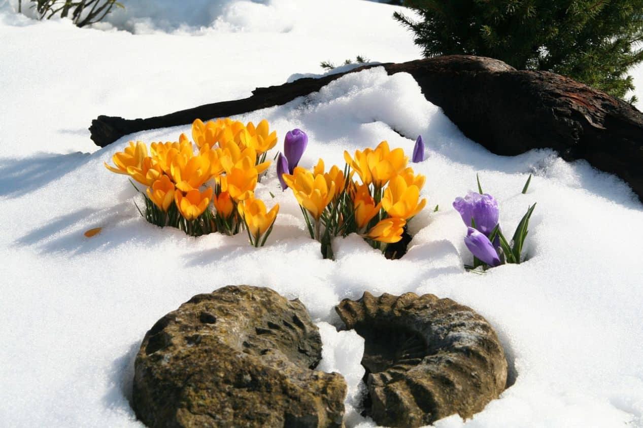 seven-autumn-flowers-1-crocus