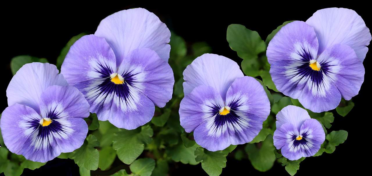 seven-autumn-flowers-3-pansies