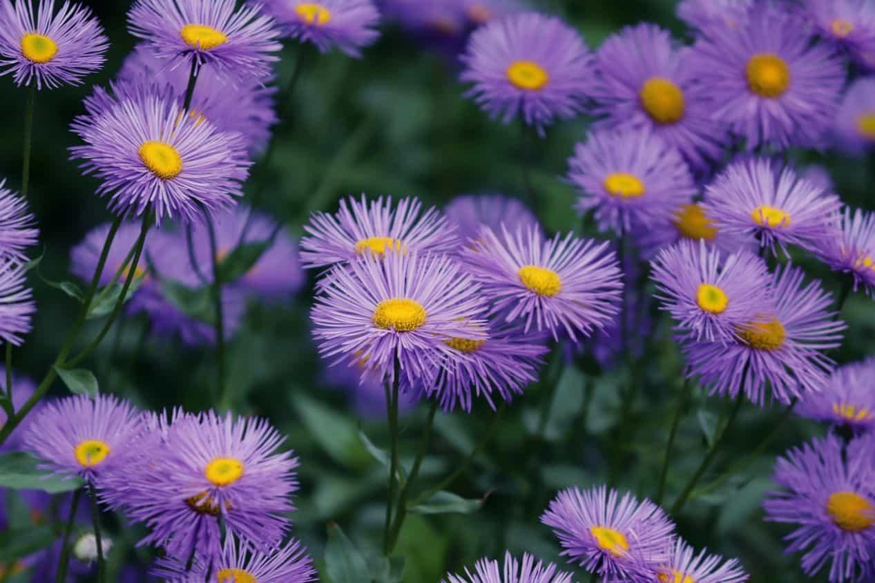 seven-autumn-flowers-7-aster