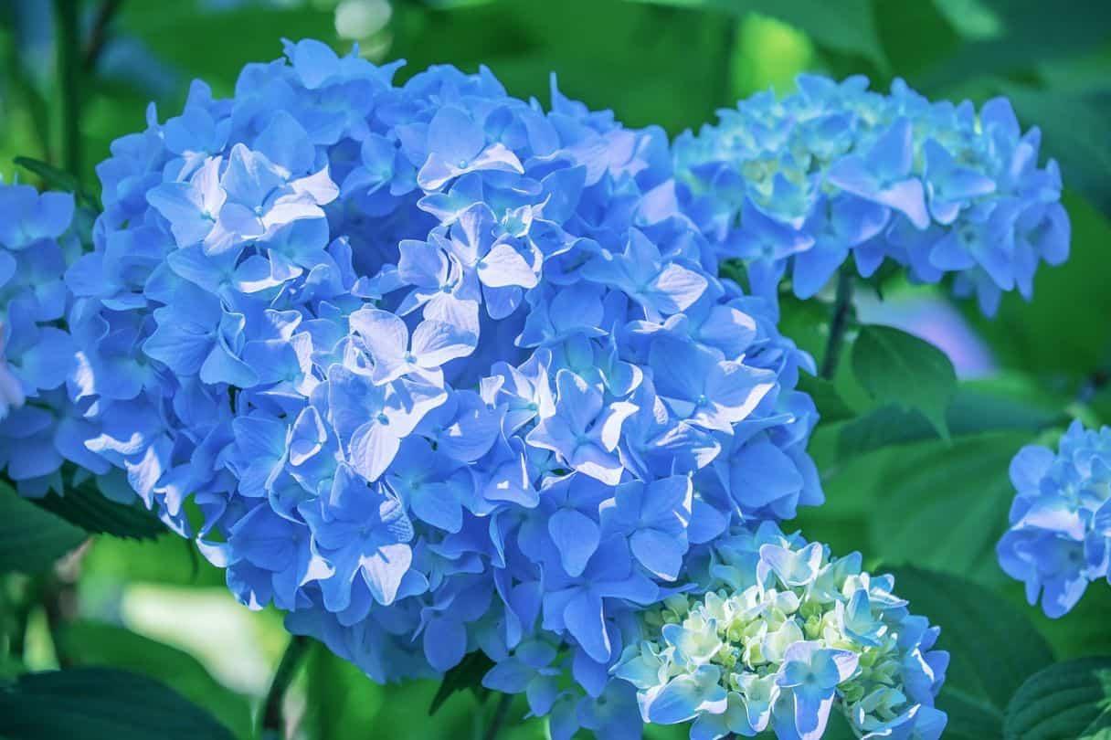 shade-loving-plants-1-hydrangea-pexels