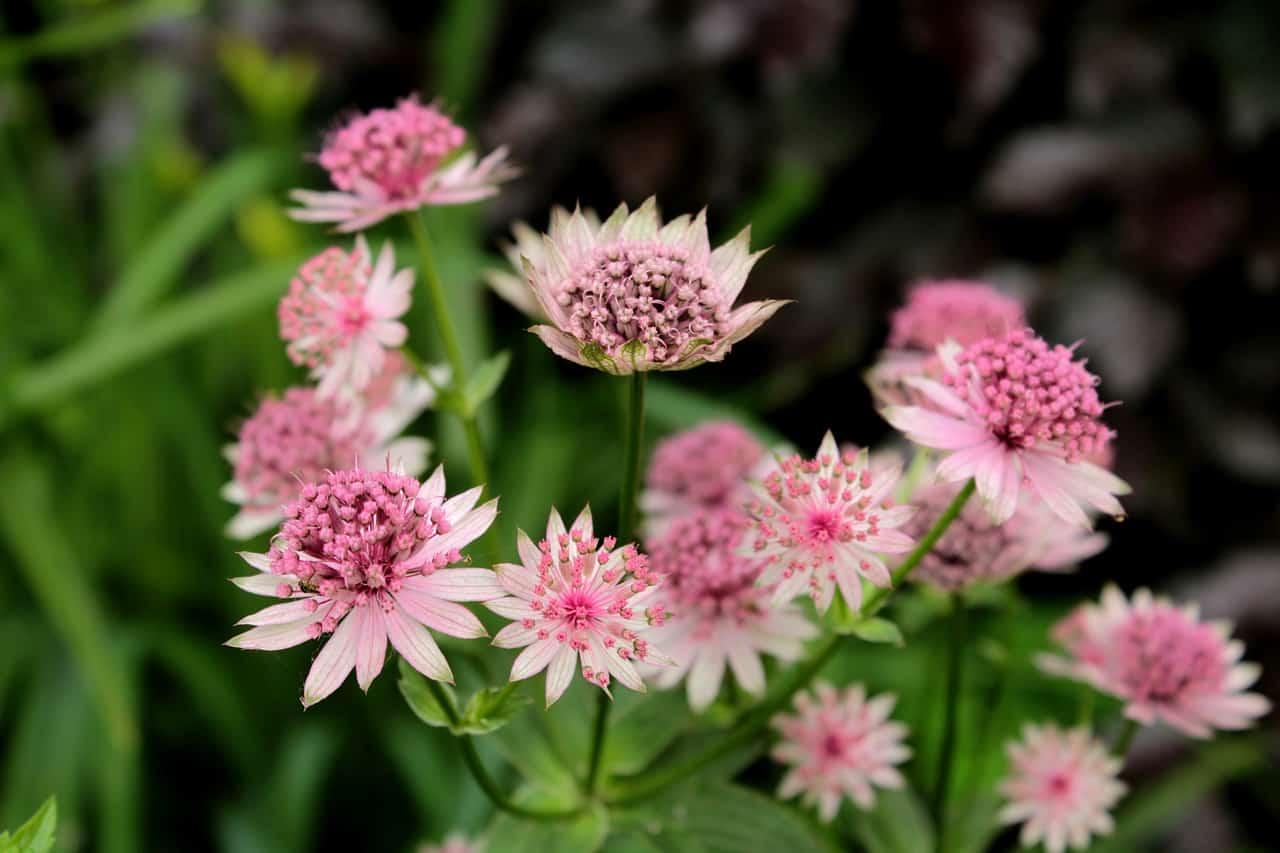 shade-loving-plants-10-astrantia-pixabay