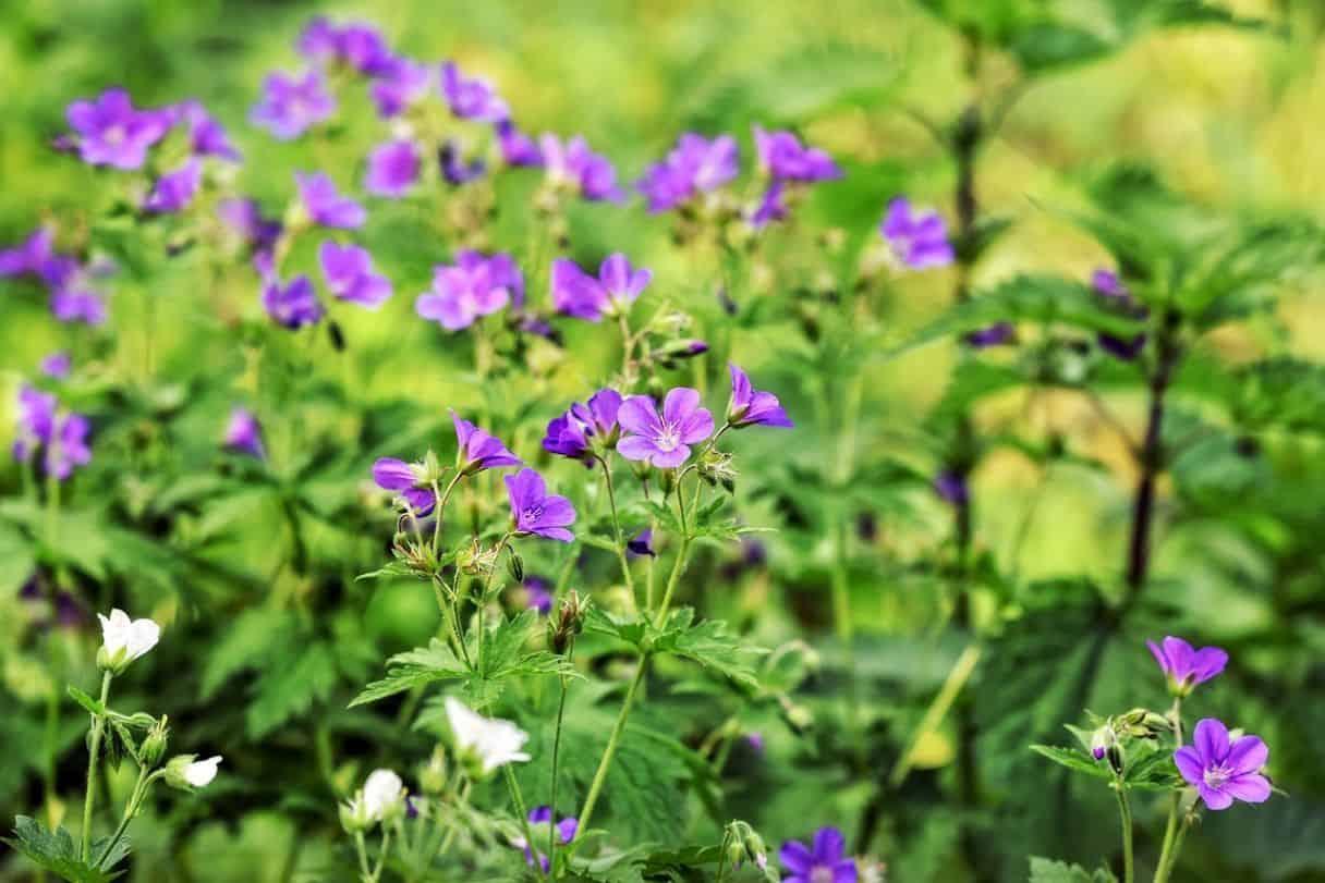 shade-loving-plants-2-hardy-graniums-pixabay