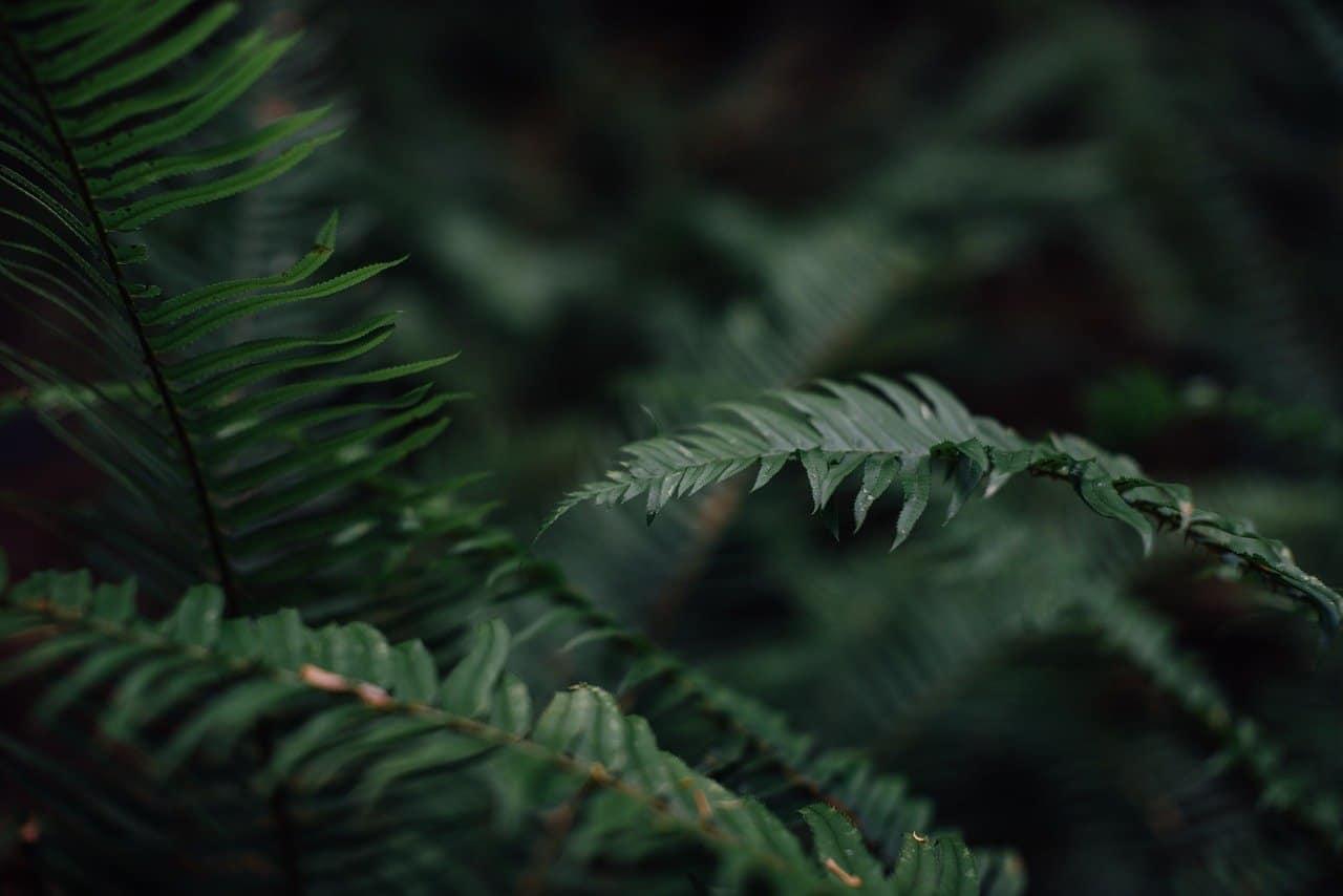 shade-loving-plants-8-ferns-pixabay