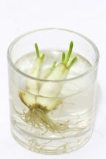 regrow green onion