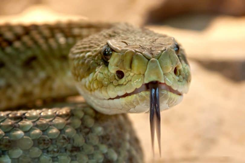 snakes-and-lizards-hiding-in-your-garden-1-viper-adder
