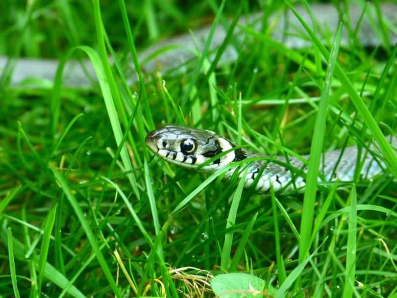 snakes-and-lizards-hiding-in-your-garden-3-grass-snake