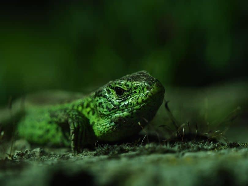 snakes-and-lizards-hiding-in-your-garden-6-sand-lizard