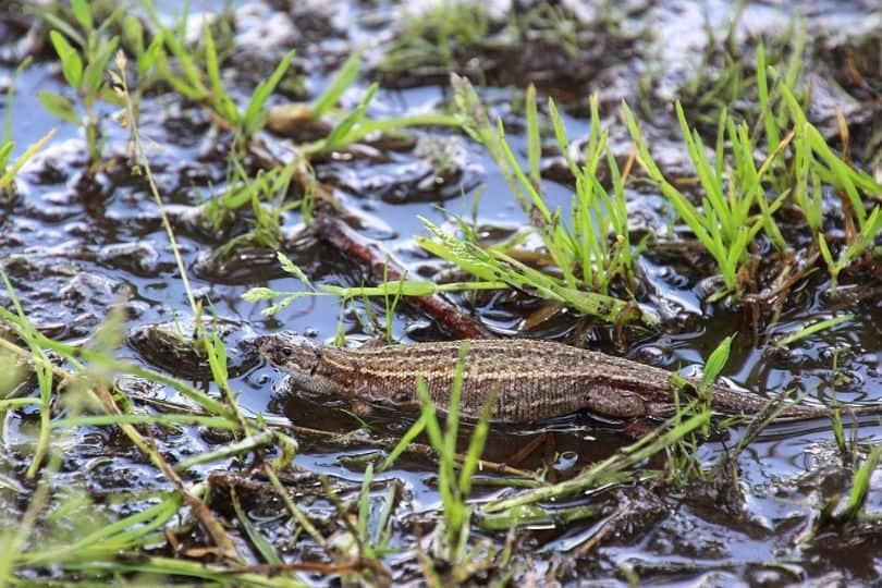 snakes-and-lizards-hiding-in-your-garden-7-viviparous-lizards