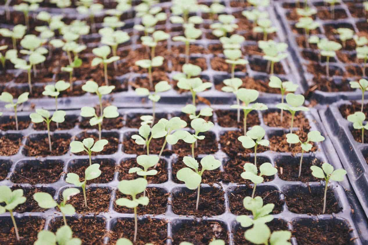 starting-seeds-indoors-guide-2-why-are-seed-starters-good-for-your-seedlings
