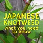 Japanese Knotweed – What You Need To Know