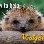 How To Help Hedgehogs In Your Garden