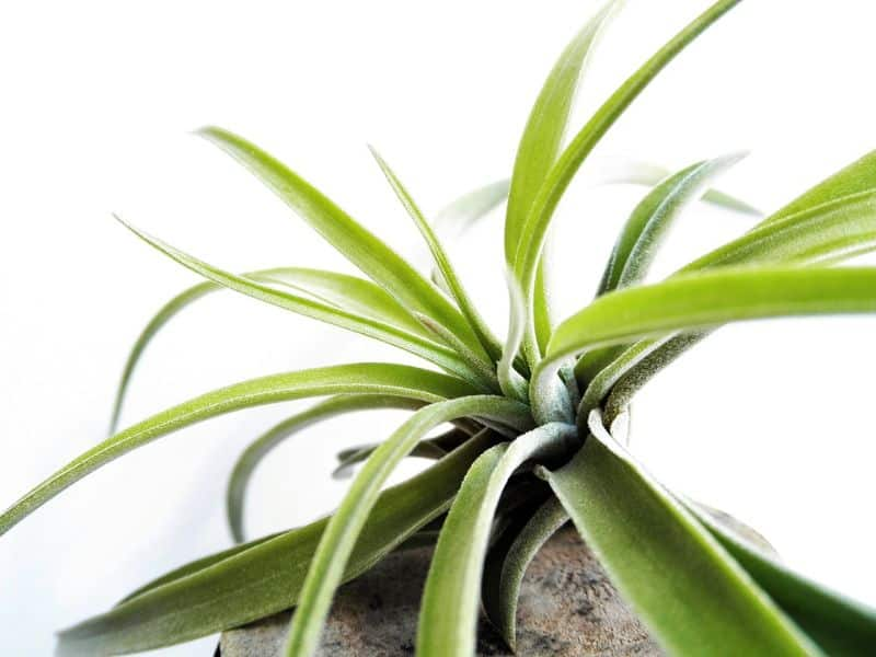tips-to-city-gardening-5-air-plants