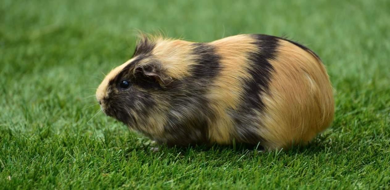 top-garden-pets-brits-4-guinea-pigs